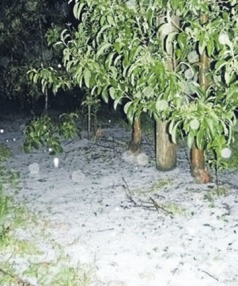 From Stuff.co.nz by A. Paulin showing hail damage at an orchard near Motueka.