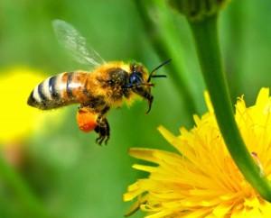 honey-bee-640x517