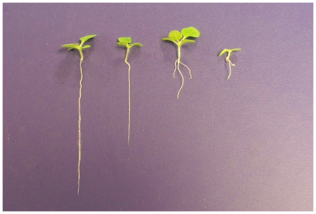 From left to right, control, 0.1%, 0.5%, and 1% aluminum oxide treated seedlings.